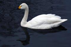 Le cygne blanc nage sur un étang photo stock