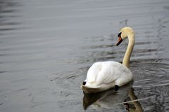 Le cygne blanc nage sur un étang photographie stock libre de droits
