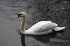 Le cygne blanc nage sur un étang photos libres de droits