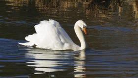 Le cygne blanc, nage sur un lac, et se chauffe que cela s'expose au soleil image stock