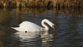 Le cygne blanc, nage sur un lac, et se chauffe que cela s'expose au soleil photo stock