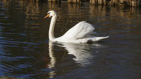 Le cygne blanc, nage sur un lac, et se chauffe que cela s'expose au soleil photos libres de droits