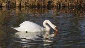 Le cygne blanc, nage sur un lac, et se chauffe que cela s'expose au soleil images libres de droits