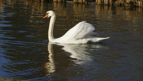 Le cygne blanc, nage sur un lac, et se chauffe que cela s'expose au soleil photos stock