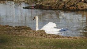 Le cygne blanc, nage sur un lac, et se chauffe que cela s'expose au soleil images stock