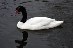 Le cygne blanc nage sur un ?tang photos stock