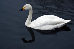Le cygne blanc nage sur un ?tang image stock
