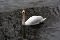 Le cygne blanc nage sur un ?tang image libre de droits