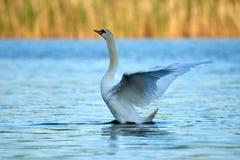 Le cygne blanc sauvage se repose sur un lac avec de l'eau bleu image stock