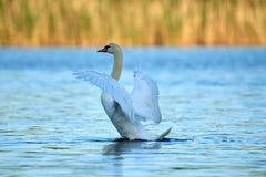 Le cygne blanc sauvage se repose sur un lac avec de l'eau bleu photos stock