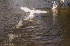 Le cygne chasse l'oie Photo libre de droits