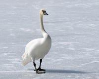 Le cygne de trompettiste sauvage avec son bec noir distinctif marche à travers l'étang couvert par neige congelée Photographie stock libre de droits