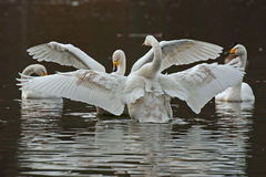 Le cygne de whooper, cygnus de Cygnus Photo libre de droits