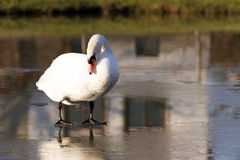 Le cygne III Photos stock