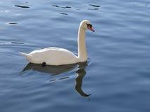 Le cygne majestueux semble adorer dans les réflexions de l'eau calme du lac Photographie stock