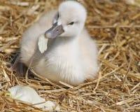 Le cygne muet de vieux bébé de semaine grignote sur un morceau de laitue pendant qu'il s'étend sur son nid de paille Photographie stock