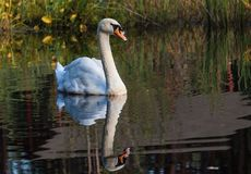 Le cygne nage le long du lac dans le sauvage Photos libres de droits