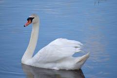 Le cygne navigue le long du lac et observe sa famille de cygne images stock
