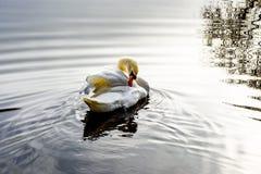 Le cygne nettoie Photo libre de droits