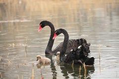 Le cygne noir Photographie stock libre de droits