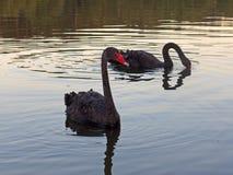 Le cygne noir d'oiseau nage le soir Photos stock