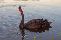Le cygne noir d'oiseau nage le soir Image libre de droits