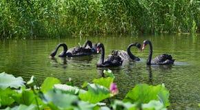 Le cygne noir dans l'étang Photographie stock libre de droits