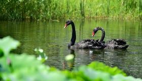 Le cygne noir dans l'étang Image libre de droits