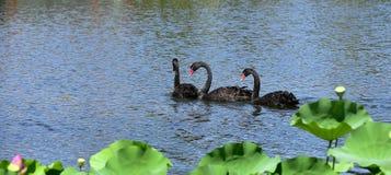 Le cygne noir dans l'étang Photo libre de droits
