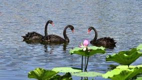 Le cygne noir dans l'étang Photos libres de droits