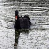 Le cygne noir de natation chez Claremont aménagent le jardin en parc, Surrey, R-U Photos libres de droits