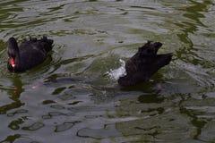 Le cygne noir en parc joint images stock