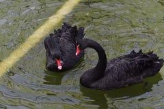 Le cygne noir en parc joint photo stock