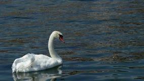 Le cygne seul avec une aile blessée nage sur le lac Ohrid clips vidéos