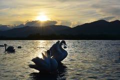 Le cygne sur la rivière au coucher du soleil Image stock