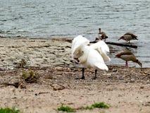 Le cygne sur le nettoyage de berge fait varier le pas avec des oies du Nil Photographie stock