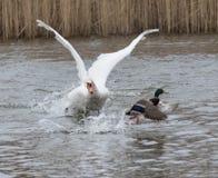 Le cygne vise un canard 04 Images libres de droits