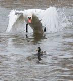 Le cygne vise un canard 02 Image libre de droits