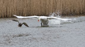 Le cygne vise un canard 01 Photographie stock libre de droits