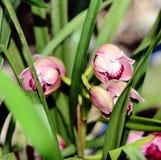 Le Cymbidium est un genre des espèces à feuilles persistantes dans l'Orchidaceae de famille d'orchidée Fin vers le haut Image libre de droits