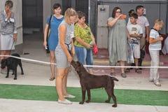 Le cynologist avec une couleur de brun de Labrador sur l'exposition canine photographie stock