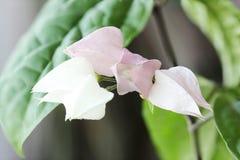 Le début de la floraison de Clerodendrum Image libre de droits