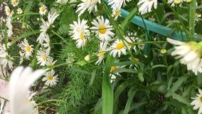 Le décalage d'herbe verte de fleurs blanches de camomille bourdonnent dedans Arbre dans le domaine Camomille jaune de camomille b clips vidéos