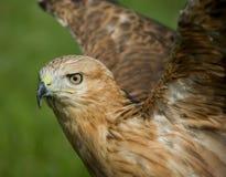 Le décollage de l'aigle Image libre de droits