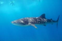 le découpage 3d au-dessus du chemin rendent la baleine de requin d'ombre blanche Image libre de droits