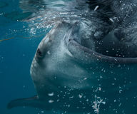 le découpage 3d au-dessus du chemin rendent la baleine de requin d'ombre blanche Photographie stock