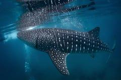 le découpage 3d au-dessus du chemin rendent la baleine de requin d'ombre blanche Photos stock