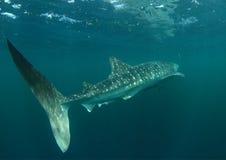 le découpage 3d au-dessus du chemin rendent la baleine de requin d'ombre blanche Photos libres de droits