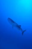 le découpage 3d au-dessus du chemin rendent la baleine de requin d'ombre blanche Photo stock