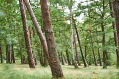 Le dédouanement d'une forêt a tiré avec la longue exposition un jour orageux, rendant tout trouble excepté les troncs et créant u image libre de droits